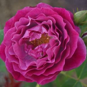 Роза Блю Эден штамбовая