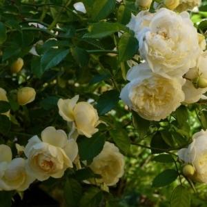 Роза Перпетуалли Йорс