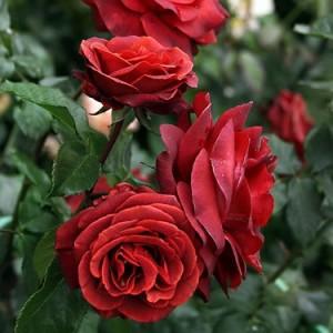 Роза Терракота MEILLAND