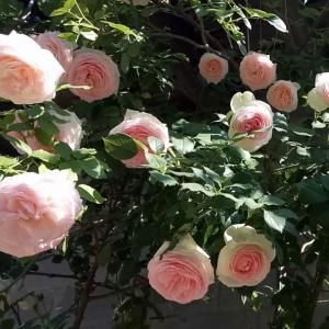 Роза Эден Роуз штамбовая