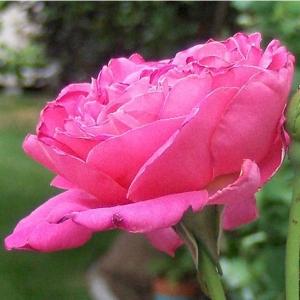 Роза Пинк Пис