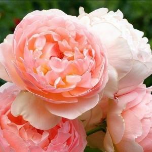 Роза Эглантин