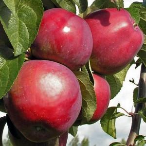 Яблоня зимняя Имант