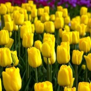 Тюльпан Характер