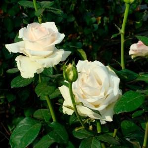 Роза Клер Океан