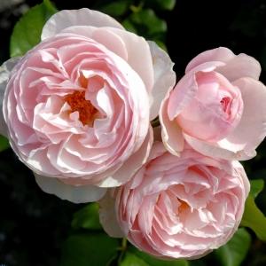 Роза Херитейдж