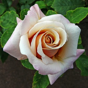 Роза Поль Рикар