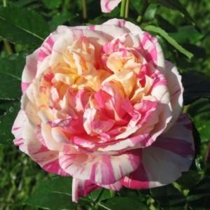 Роза Жюли Андрие DELBARD