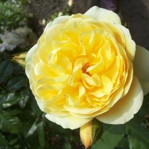 Роза Грэхам Томас штамбовая