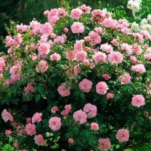 Роза Хайди
