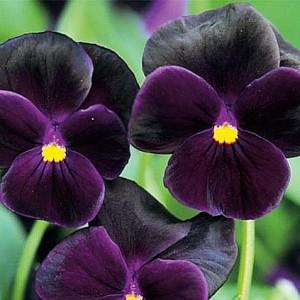 Виола Пирна раннецветущая