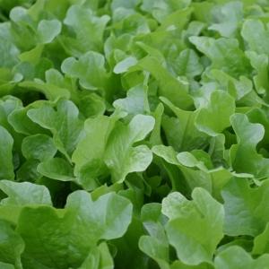Салат Кредо листовой,темно-зеленый (сер. Урожай на окне)