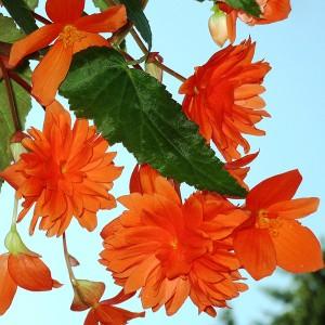 Бегония Пендула оранжевая