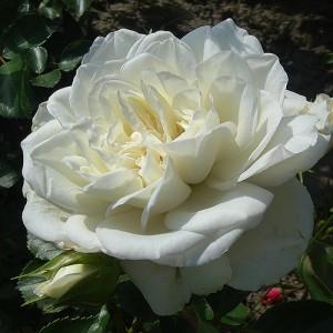 Роза Свони штамбовая