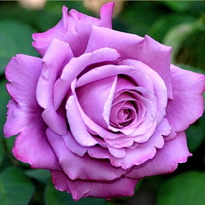Роза штамбовая Шарль де Голль