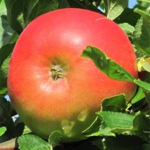 Яблоня Лучезарное