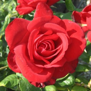 Роза Бургунд