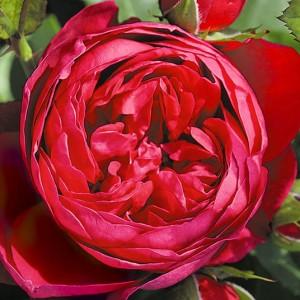 Роза Аскот
