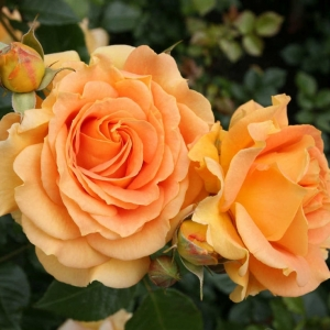Роза Гольдэльзе