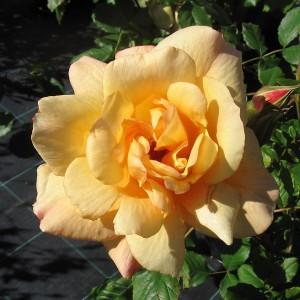 Роза Отэм Сансет