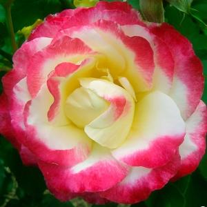 Роза Дабл Делайт штамбовая