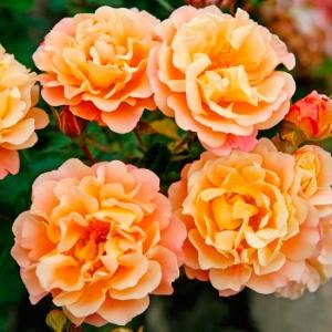 Роза Кубана KORDES