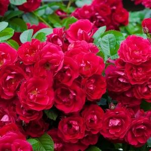 Роза Ред Фейри штамбовая