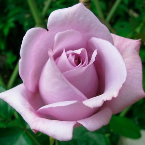 Роза Индиголетта