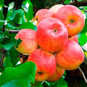 Яблоня летняя Абрикосовое