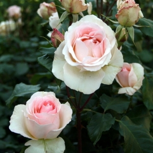 Роза Иоганн Штраус