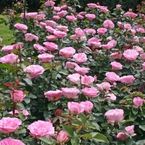 Роза Беверли