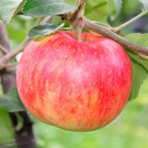 Яблоня осенняя Штрифель