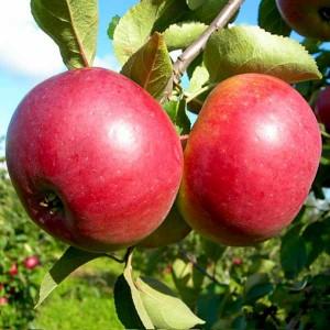 Яблоня Белорусское сладкое
