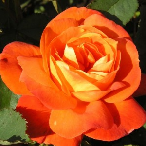 Роза Супер Трупер штамбовая