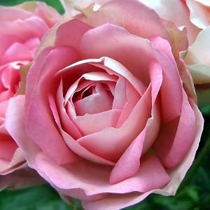 Роза Акрополис MEILLAND