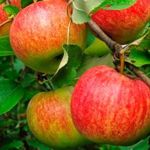 Яблоня осенняя Чемпион