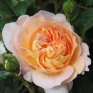 Роза Амели Нотомб