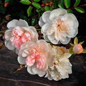 Роза штамбовая Свони