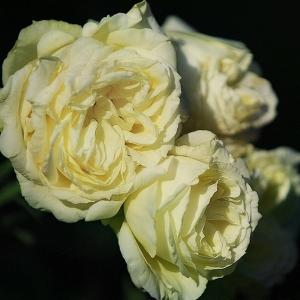 Роза Лемон Рококо