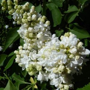 Сирень Мадам Лемуан (Mme Lemoine) - энциклопедия садовых растений. Сирень - описание, особенности