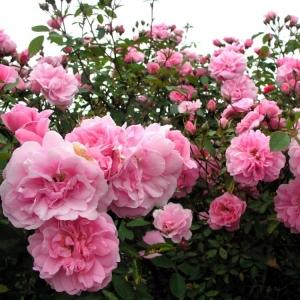 Роза Джон Дэвис