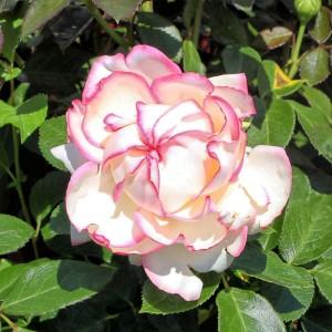 Роза Бидермеер