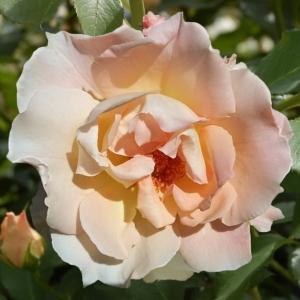 Роза Рококо
