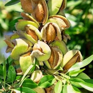 Миндаль плодовый Форос
