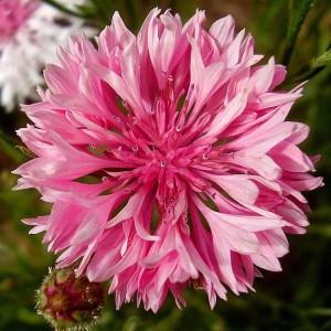 Василек розовый