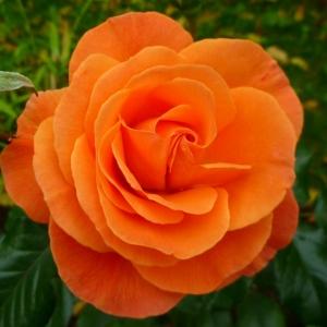 Роза Супер Трупер