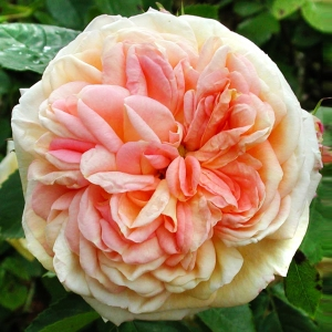 Роза Алхимик