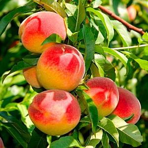 Персик Медовый (колоновидный)