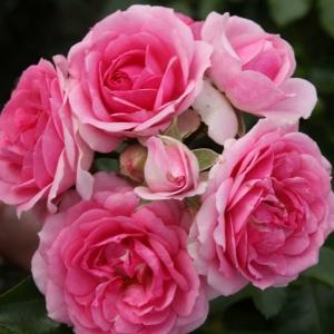 Роза Амика