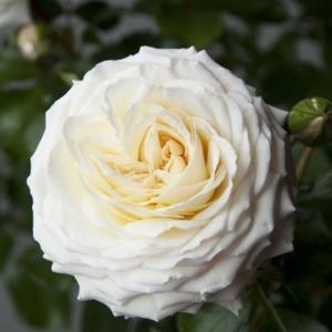 Роза Ледреборг